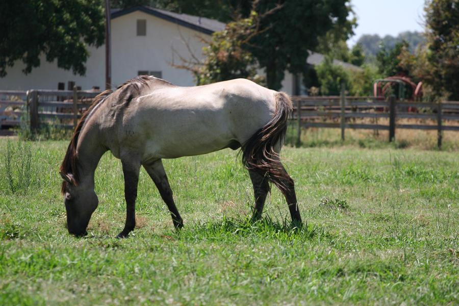 Dark buckskin quarter horse