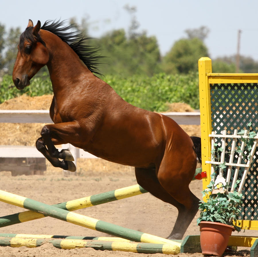 Bay Horse Jumping - Tack Removed by HorseStockPhotos