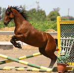 Bay Horse Jumping - Tack Removed