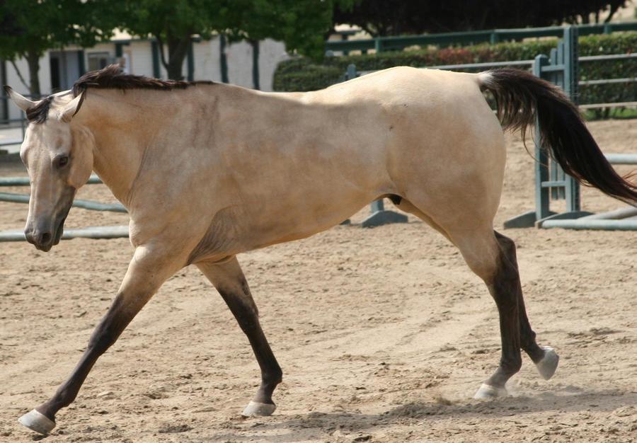 Teacup horse