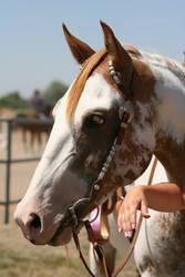 chestnut paint mare - headshot by HorseStockPhotos