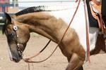 Buckskin Paint Horse Gelding, Western