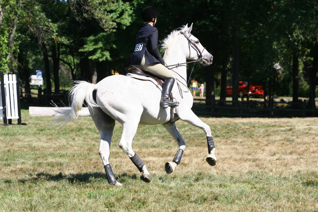 Flea-bitten gray warmblood hunter/jumper by HorseStockPhotos