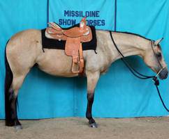 Buckskin Quarter Horse Mare Western Show Horse by HorseStockPhotos