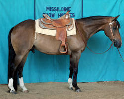 Seal brown AQHA Quarter Horse Gelding Western Show by HorseStockPhotos
