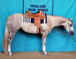 Dapple Gray Quarter Horse mare Western Show Horse by HorseStockPhotos