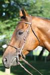 Bay Thoroughbred Gelding Headshot English Bridle by HorseStockPhotos