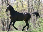 Bay Dutch Warmblood Gelding Cantering Tack Removal