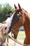 Chestnut AQHA Quarter Horse Champion, Headshot