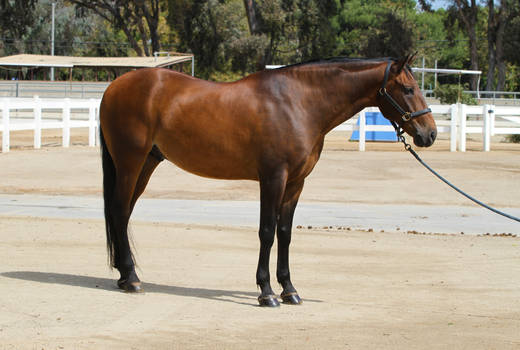 Bay Portuguese Lusitano Gelding Conformation Shot by HorseStockPhotos
