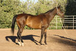 Bay Thoroughbred Horse Standing