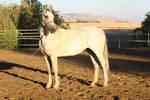 Friesian Arabian Horse Stock Standing Conformation