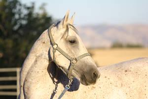 Gray Friesian / Arabian Horse Headshot Stock by HorseStockPhotos