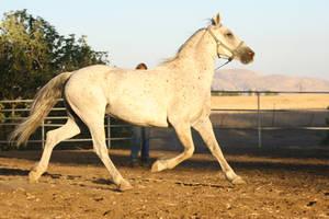 Arabian Friesian Horse Trotting on Lungeline by HorseStockPhotos