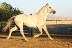 Arabian Friesian Horse Trotting on Lungeline