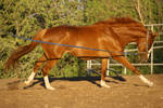 Chestnut Thoroughbred Mare Cantering Horse Stock