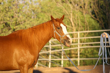 Chestnut Thoroughbred Mare Funny Face Headshot