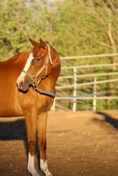 Chestnut Thoroughbred Mare Horse Headshot