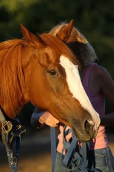 Chestnut Thoroughbred Mare Horse Headshot Stock
