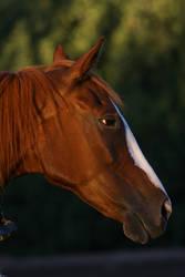 Thoroughbred Horse Headshot Horse Stock
