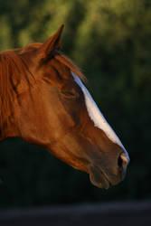 Chestnut Thoroughbred Mare Eyes Closed Headshot