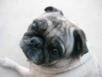 Pug Dog by Wheatys
