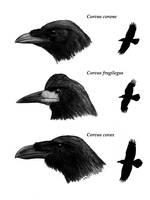 Crows by unlobogris