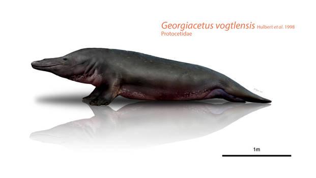 Georgian hippo-seal