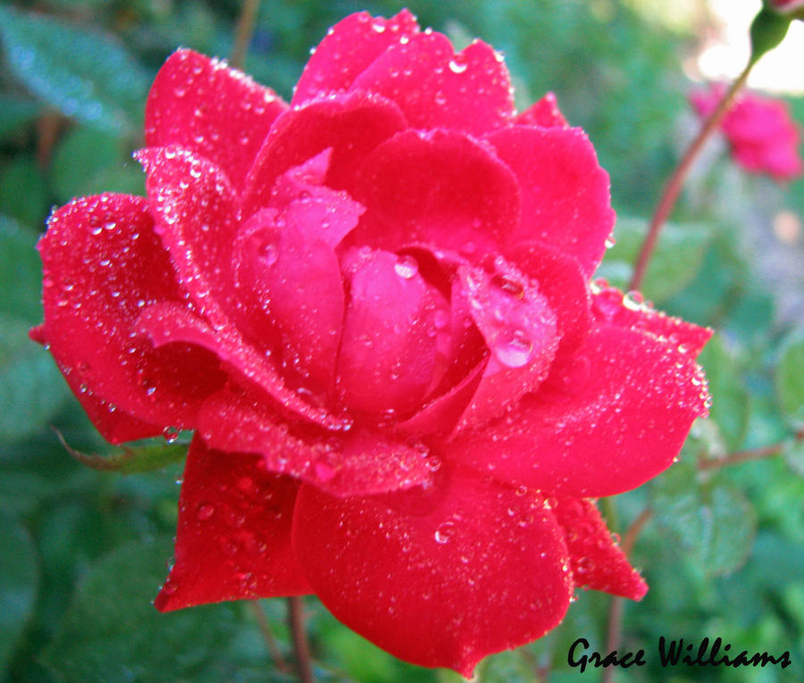 Water drops on red pink rose by mnm commander on deviantart for Commander rose