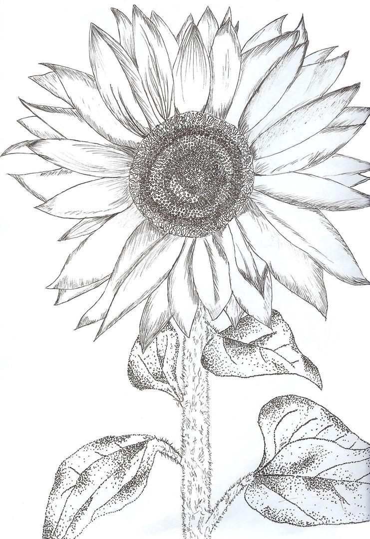 Line Drawing Sunflower : Sunflower by sydnyss on deviantart