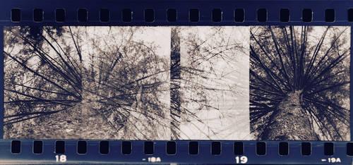 pine tree by ssv