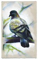 Pigeon 02 by nuances-curieuses