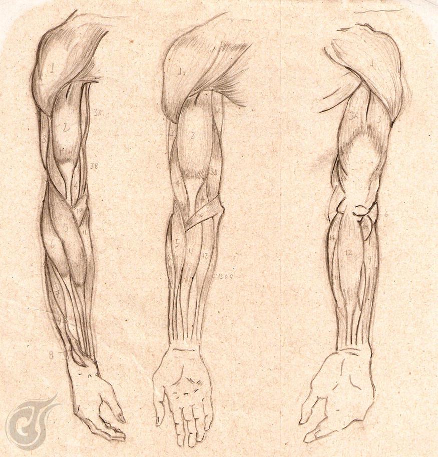 Anatomy Study - Right Arm by ThiagoArvore on DeviantArt