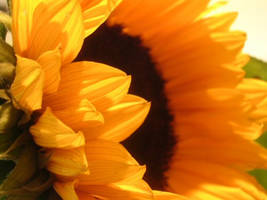 Sunflower by lauperr