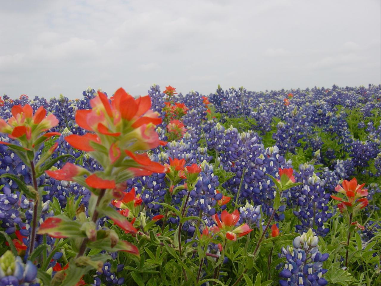 Texas Wildflowers by LizartLizard