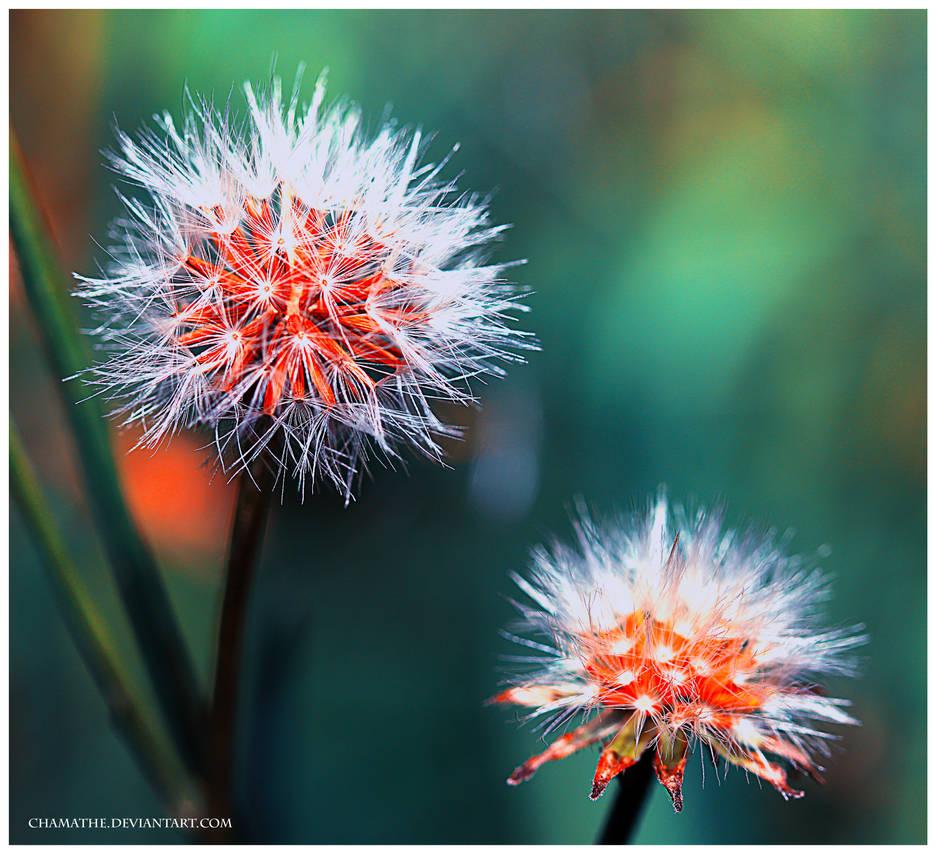 Burning Flower by chamathe