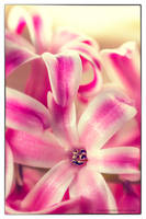 Pink Flower by chamathe