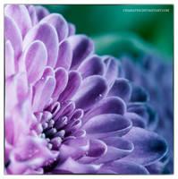 Purple Beauty by chamathe