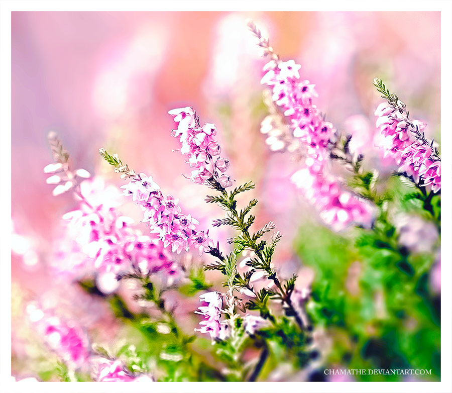 Pink by chamathe