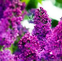 Purple Dreams by chamathe