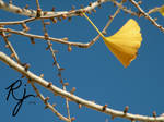 Ginkgo leaves in autumn 1