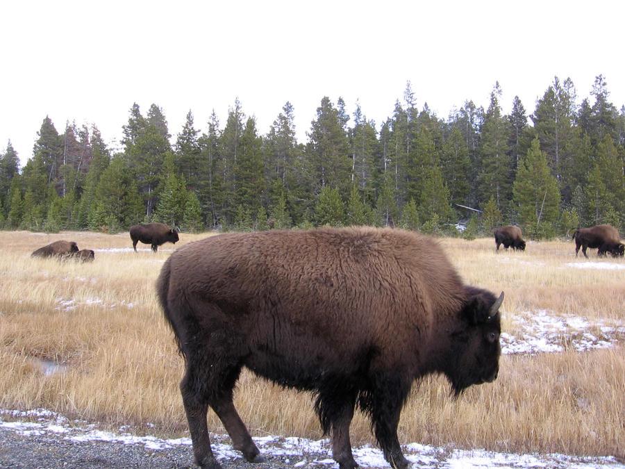 Lone Buffalo by Reddawgi