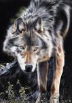Loup/Wolf