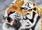 Tigre/Tiger