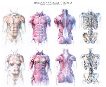 Human anatomy - torso