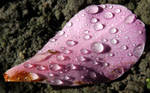Pink petal with water droplets by BreeMoody