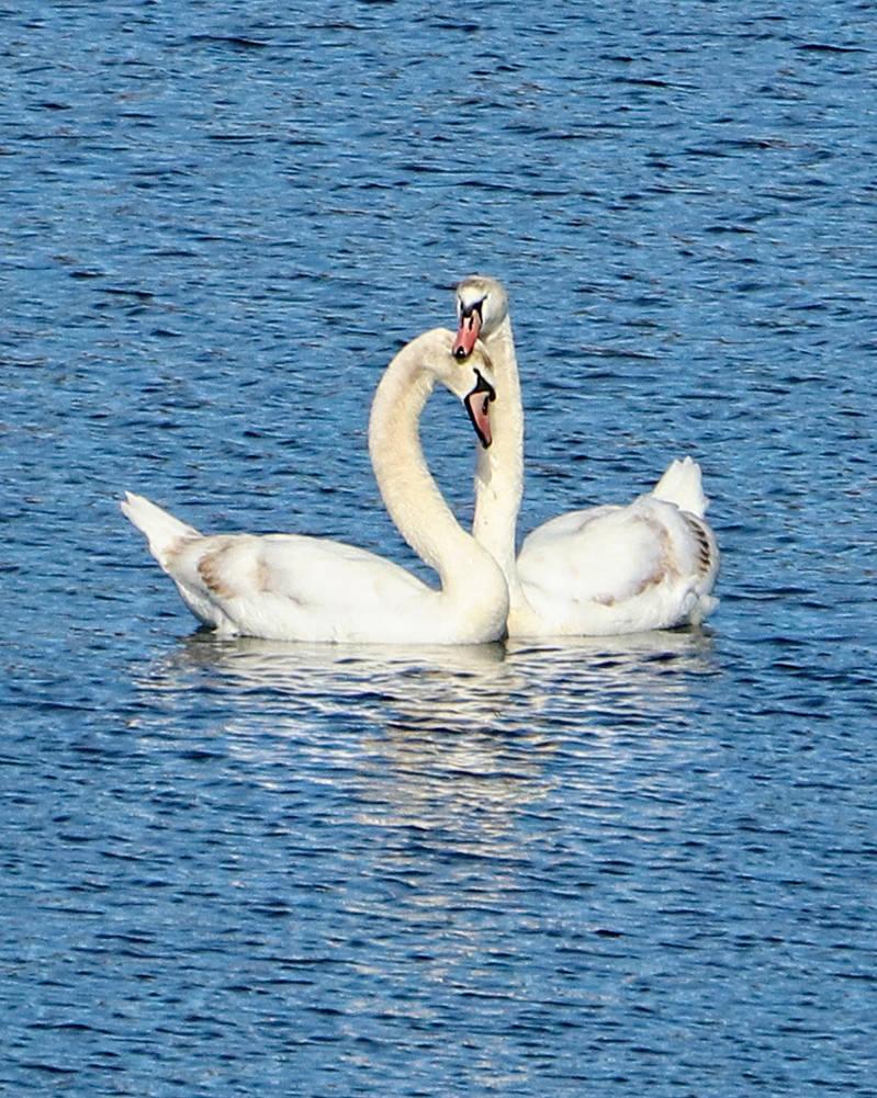Stock: Swans