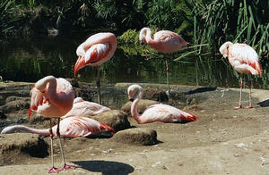 Flamingos by sweetaj6