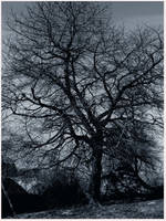 old tree by 0silvia0
