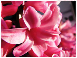 Candy Hyacinth by lostforeveragain
